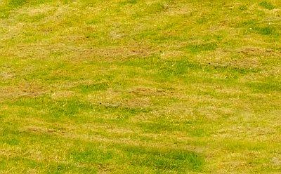 Почему желтеет газонная трава